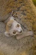Crowned Lemur (Eulemur coronatus) baby clinging to mother's fur, vulnerable, Ankarana Special Reserve, northern Madagascar