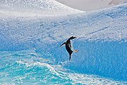 A Gentoo penguin (Pygoscelis papua) attempts to land on an iceberg,.Ronge Island, Antarctic Peninsula