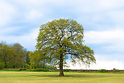 English Oak tree, Quercus robur, as Spring turns to Summer in Swinbrook in the Cotswolds, Oxfordshire, UK