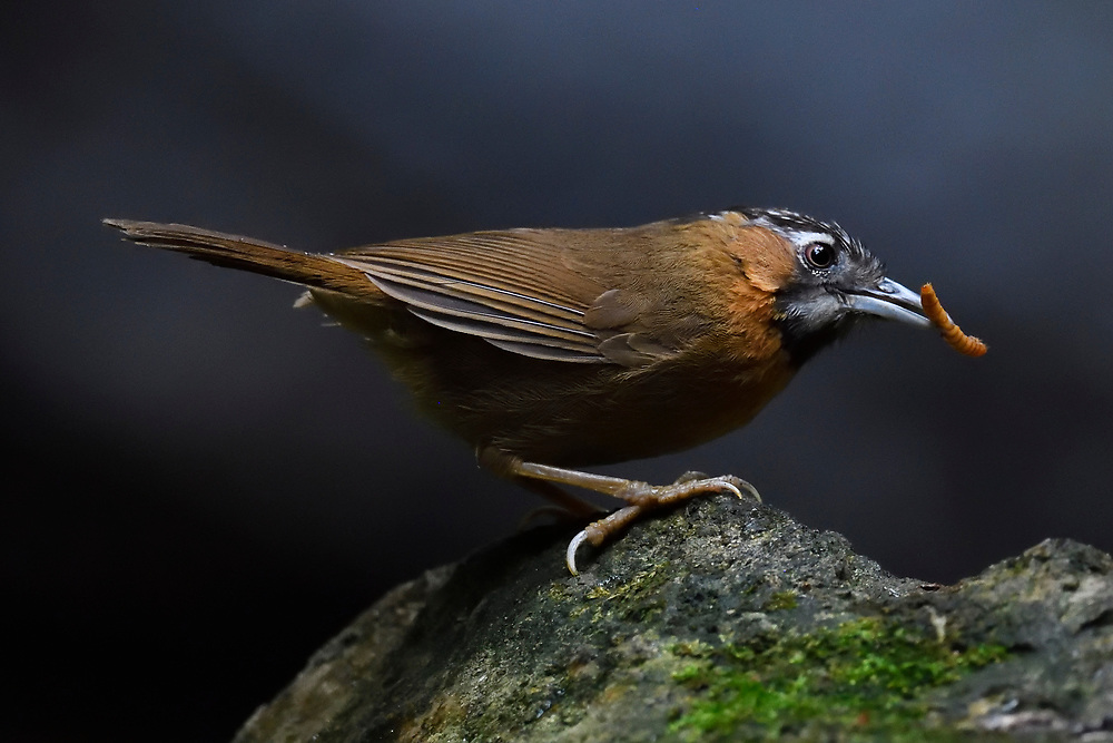 grey throated babbler bird,Stachyris nigriceps, catching a worm at Tongbiguan nature reserve, Dehong Prefecture, Yunnan Province, China