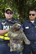 Brown-throated Three-toed Sloth <br /> Bradypus variegatus<br /> Police holding sloth that was confiscated from someone's home<br /> Aviarios Sloth Sanctuary, Costa Rica