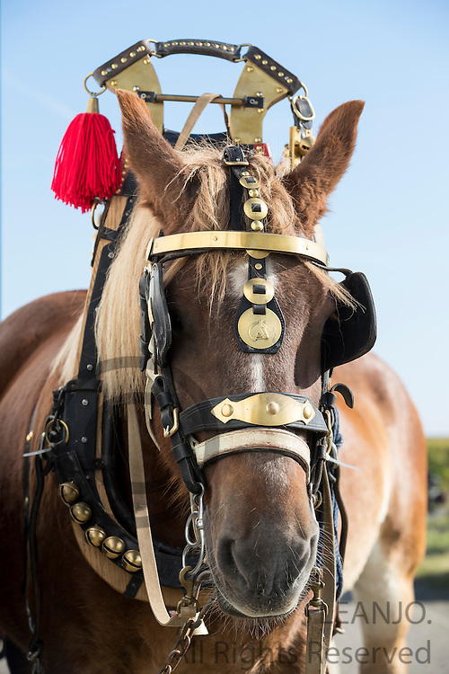 Trekpaard<br /> Bietentocht 2016<br /> &copy; DigiShots
