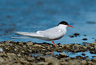 Arctic Tern Sterna paradisaea L 35cm. Graceful seabird with buoyant flight. Plunge-dives for fish. Sexes are similar. Adult has grey upperparts, black cap, and pale underparts, palest on cheeks, darkest on belly. Has uniformly red bill, short, red legs and long tail streamers. In flight from below, flight feathers look translucent, with narrow, dark trailing edge to primaries. Juvenile has white underparts, incomplete dark cap and scaly grey upperparts. In flight from above, has dark leading edge, and white trailing edge, to inner wing. Legs and bill are dull. Voice Utters harsh krt-krt-krt call near nest. Status Locally common summer visitor and passage migrant. Colonial nester, always near coasts; commonest in N.
