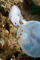 Cephalopods lay batches of eggs, normally hidden away in holes.  The juvenile devlops inside the case, feeding on a yolk sack, until the moment of birth.