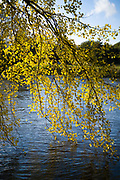Sunlight through golden leaves of Silver birch tree - Betula pendula - dangling into the River Wye in Herefordshire, England.