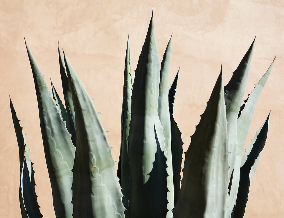An Agave plant against a adobe wall, Phoenix, Arizona, USA.