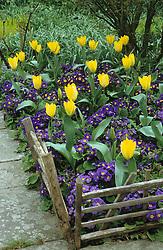 Tulipa 'Yellow Emperor' with Polyanthus 'Rainbow Series Blue'