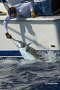 crew member releasing Pacific blue marlin, Makaira nigricans or Makaira mazara, after tagging during the Hawaii International Billfish Tournament, Kailua Kona, Hawaii ( Central Pacific Ocean )