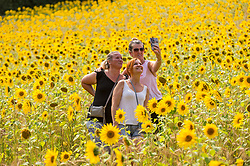 © Licensed to London News Pictures. 08/08/2020. CHORLEYWOOD, UK. Visitors take a selfie amongst the sunflowers growing in a wheat field near Chorleywood, Hertfordshire on a hot day where the temperature is expected to peak at 34C.  The forecast is for temperatures to continue to exceed 30C for the next few days.  Photo credit: Stephen Chung/LNP
