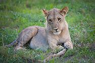 A young male lion, Botswana.