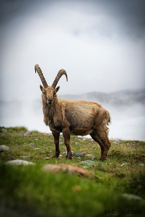 Switzerland Zermatt Gornergrat 2014.07.02<br /> <br /> The Alpine ibex (Capra ibex), also known as The steinbock or bouquetin, is a species of wild goat that lives in the mountains of the European Alps. It is a sexually dimorphic species with larger males who carry larger, curved horns. The coat colour is typically brownish grey. Alpine ibex tend to live in steep, rough terrain above the snow line. They are also social, although adult males and females segregate for most of the year, coming together only to mate. Four distinct groups exist; adult male groups, female-offsping groups, groups of young individuals, and mixed sex groups.<br /> <br /> During the breeding season, males fight for access to females and use their long horns in agonistic behaviours. After being extirpated from most areas by the 19th century, the Alpine ibex was reintroduced to parts of its historical range and all individuals living today descend from the stock in Gran Paradiso National Park in northwest Italy and from the neighbouring French valley of Maurienne,[2] now part of the Vanoise National Park linked to the former. These two national parks are connected and have been especially created to help the ibex to thrive.