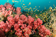 Soft coral and reef fish<br /> Aliwal shoal<br /> Umkomaas<br /> KwaZulu Natal<br /> SOUTH AFRICA
