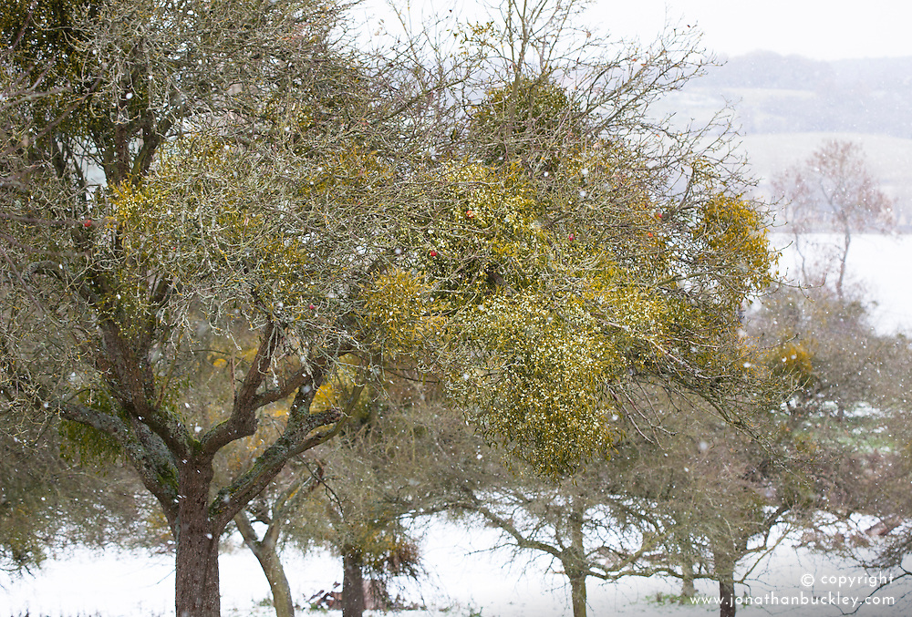 Mistletoe growing on fruit trees on a snowy winter's day in an orchard in Worcestershire. Viscum album