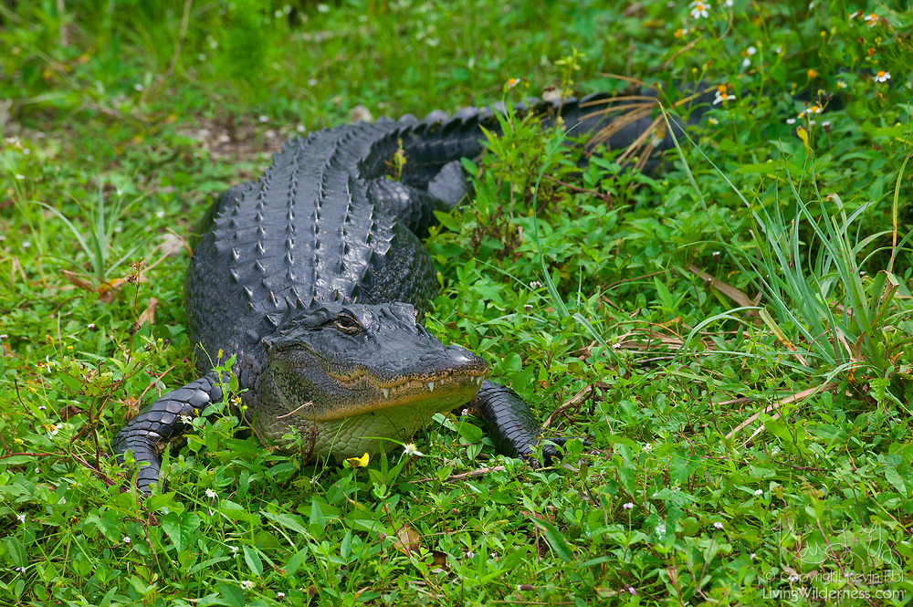 An American alligator (Alligator mississippiensis) crawls in the grass in a marshy area of the Florida Everglades. American alligators are found in the southeast United States. Florida and Louisiana each have alligator populations of greater than one million.