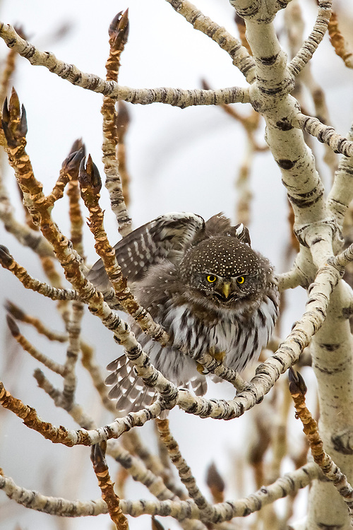 Northern pygmy-owls are active during daylight hours and rely on their acute vision hunt. Because of their diurnal nature, this tiny owl has not developed a good sense of hearing, silent flight, or exceptional night vision, like other nocturnal owls.