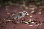 A Galapagos mockingbird walks along the red sand beach on Rabida island in the Galapagos archipelago of Ecuador.