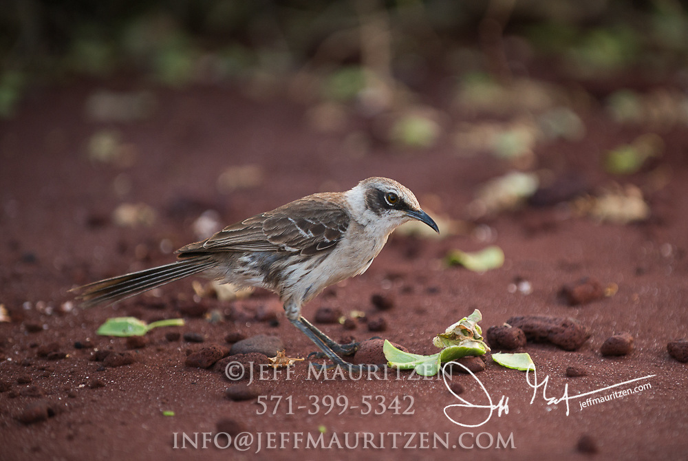 A Galapagos mockingbird walks along the red sand beach on Rabida island in the Galapagos archipelago of Ecuador.
