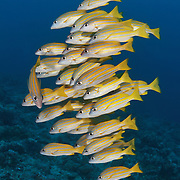 School of bluelined snapper (Lutjanus kasmira) at Blue Corner dive site in Palau