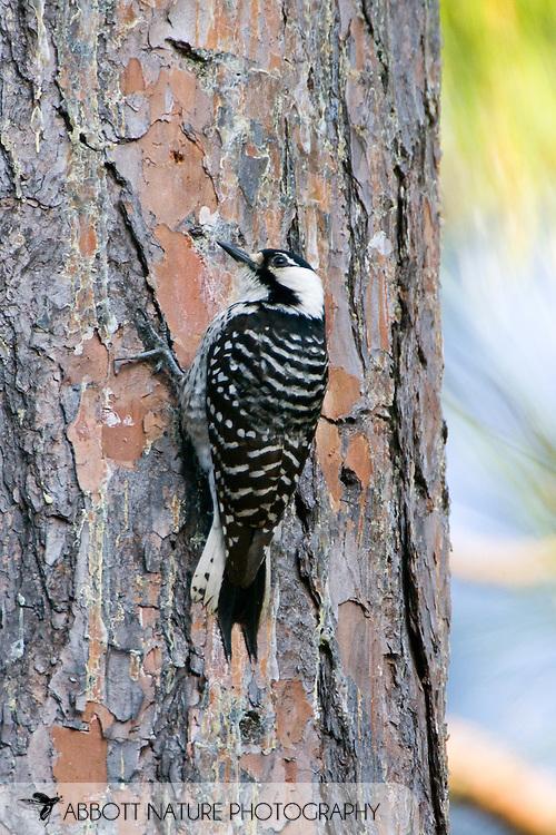 Picoides borealis (Red-cockaded Woodpecker ): Aves: Piciformes : Picidae<br /> TEXAS: Jasper Co.<br /> Angelina National Forest near Jasper<br /> 25.Mar.2008<br /> J.C. Abbott