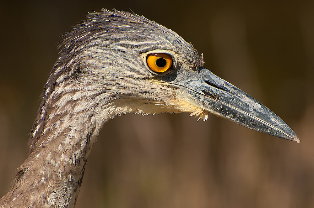 A juvenile yellow-crowned night-heron close-up as it hunts for crabs and fish on the mangrove backwaters on SW Florida's Sanibel Island.