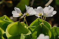 Oxalidaceae, Klaverzuringfamilie
