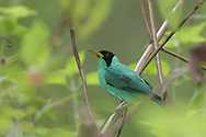 Male green honeycreeper, Osa Peninsula, Costa Rica