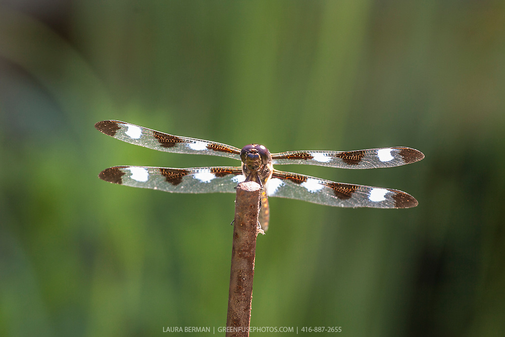 The Twelve-spotted Skimmer (Libellula pulchella) perched on a stick above a pond. It is a common North American skimmer dragonfly, found in southern Canada and in all 48 of the contiguous U.S. states..It is a large species, at 50 mm (2.0 in) long. Each wing has three brown spots. In adult males, additional white spots form between the brown ones and at the bases of the hindwings; it is sometimes called the Ten-spot Skimmer for the number of these white spots.