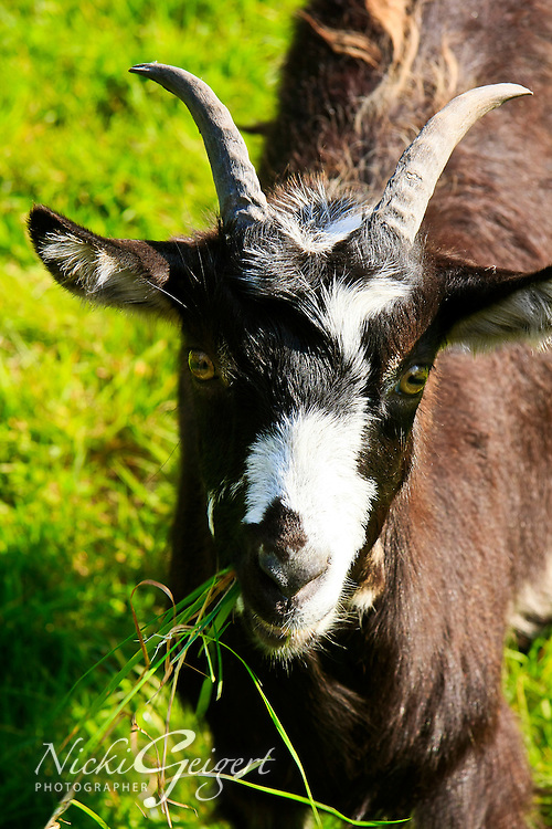 Animals, goat.<br />