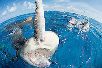 """""""Playing"""" with Lemon Sharks<br /> <br /> Shot in Bahamas"""