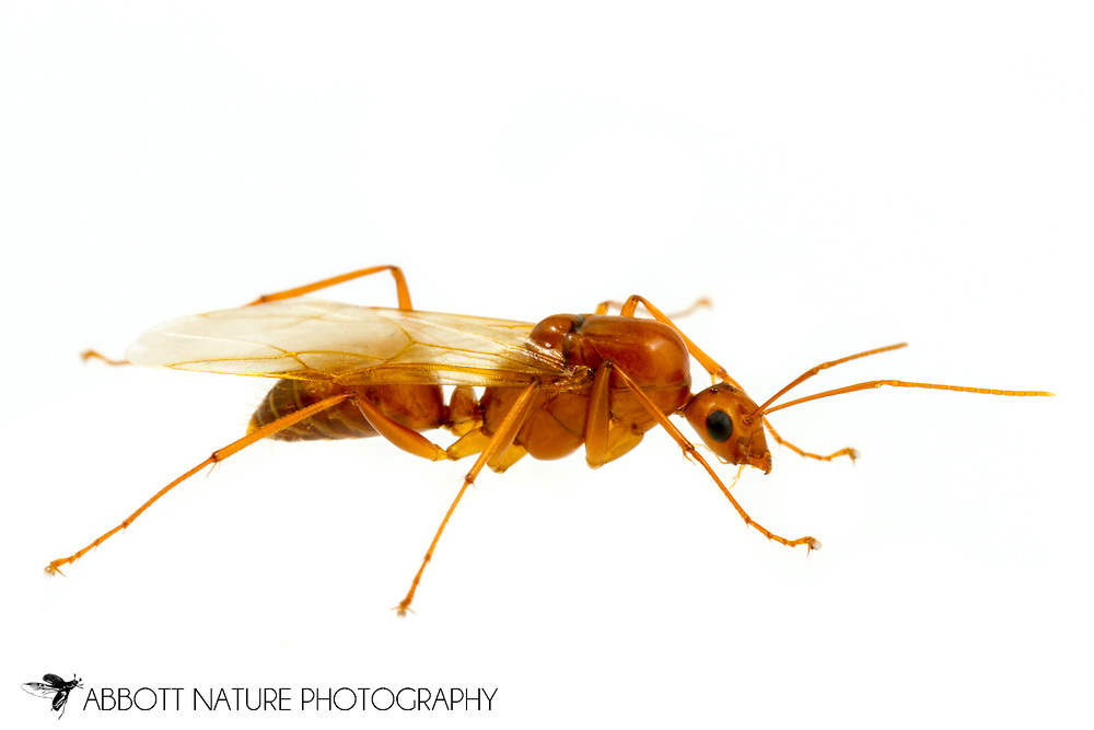 Carpenter Ant (Camponotus castaneus) reproductive<br /> United States: Alabama: Tuscaloosa Co.<br /> Tulip Tree Springs off Echola Rd.; Elrod<br /> 28-May-2017<br /> J.C. Abbott #2954