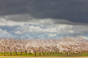 Almond Trees Blooming, Kern County, California  2011