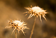 Dry Milk Thistle (Silybum marianum)