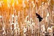 Red-winged Blackbird, cattails