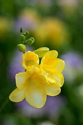 Freesia 'Yellow'