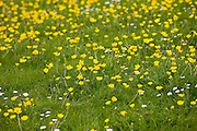 Buttercups and daisies in summer meadow near Condicote, Gloucestershire, UK