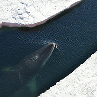Southern Minke Whale surfacing in McMurdo Sound, Antarctica