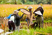 Apr. 22 - UBUD, BALI, INDONESIA:  Women harvest rice in a paddy near Ubud, Bali. Rice is an integral part of the Balinese culture. The rituals of the cycle of planting, maintaining, irrigating, and harvesting rice enrich the cultural life of Bali beyond a single staple can ever hope to do. Despite the importance of rice, Bali does not produce enough rice for its own needs and imports rice from nearby Thailand.   Photo by Jack Kurtz/ZUMA Press.