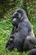 Mountain Gorilla<br /> Gorilla gorilla beringei<br /> Silverback with 1.5 year old baby<br /> Parc National des Volcans, Rwanda<br /> *Endangered species