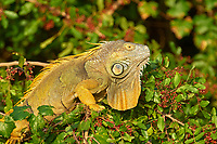Green Iguana (Iguana iguana) in tree, Arthur C Marshall Wildlife Reserve, Loxahatchee,