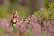 Red Squirrel (sciurus vulgaris)feeding on pine cone in purple heather covered pine eforest, in the Cairngorms National Park,, Scotland, UK