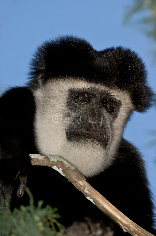 Adult male Eastern Black and White Colobus Monkey, Colobus guereza, from Kenya.