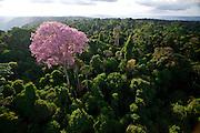 Parauapebas_PA, Brasil.<br /> <br /> Ipe-roxo floresce na Floresta Nacional de Carajas (Flona) em Parauapebas, Para.<br /> <br /> Purple ipe (Brazilian typical tree) in the Carajas National Forest in Parauapebas, Para.<br /> <br /> Foto: JOAO MARCOS ROSA / NITRO
