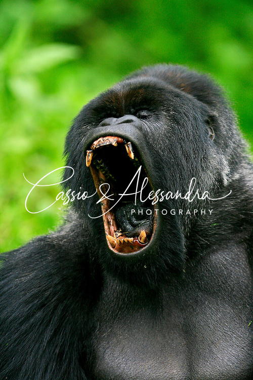 Yawning was the best opportunity to see how powerful jaws the mountain gorillas still mantain, even being totally vegetarians. This big yawn of the silverback has been capture in my first visit to the Mountain of Gorillas in Rwanda.