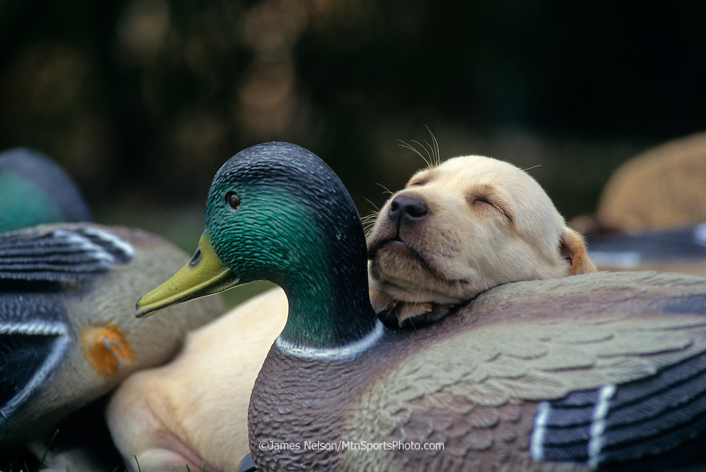 34-315. A yellow Labrador retriever puppy naps on a mallard duck decoy.
