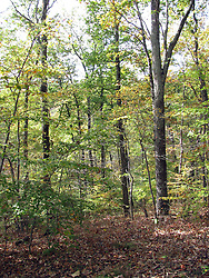 11 Oct 2011: Autumn colored leaves on trees in woods. Rural Indiana, specifically in or close to Brown County.