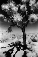 A Joshua Tree stands in stark contrast against the desert sky in Yucca Valley, California.