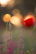 wild poppy bud, soft focus