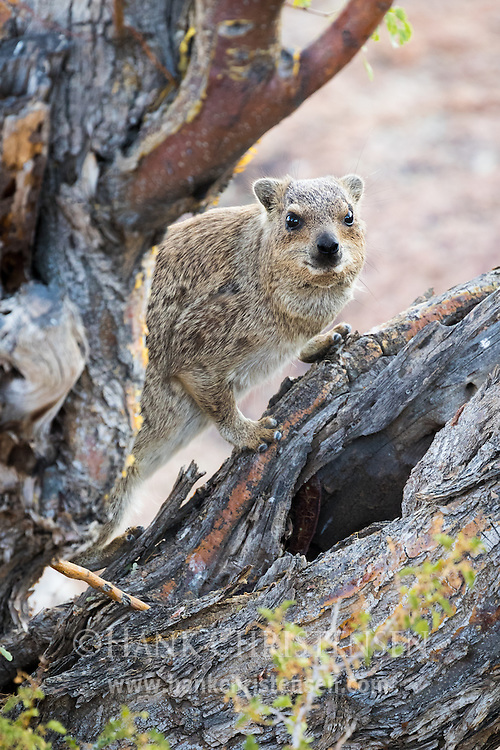 A rock hyrax peaks out from behind a tree, Twyfelfontein, Namibia.