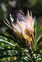 Protea longifolia flowerhead, Fernkloof Nature Reserve, Hermanus, Western Cape, South Africa