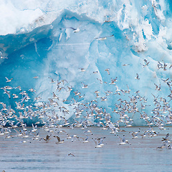 Kittiwakes gather in front of glacier to feed. Svalbard, Norway.
